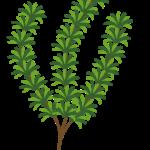 herb_rosemary